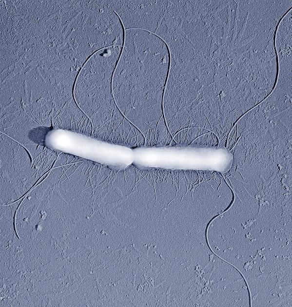 Proteus Vulgaris Print featuring the photograph Proteus Vulgaris Bacteria, Sem by Thomas Deerinck, Ncmir