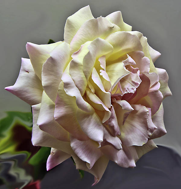 Peace Rose Art Print featuring the photograph Peace Rose by Dennis Hofelich