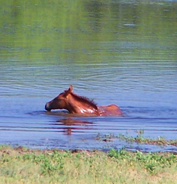 Horses Art Print featuring the photograph Look Mum I Can Swim. by Lilly King