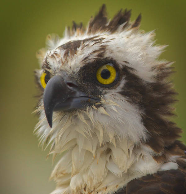 Osprey Art Print featuring the photograph Survivor by MCM Photography