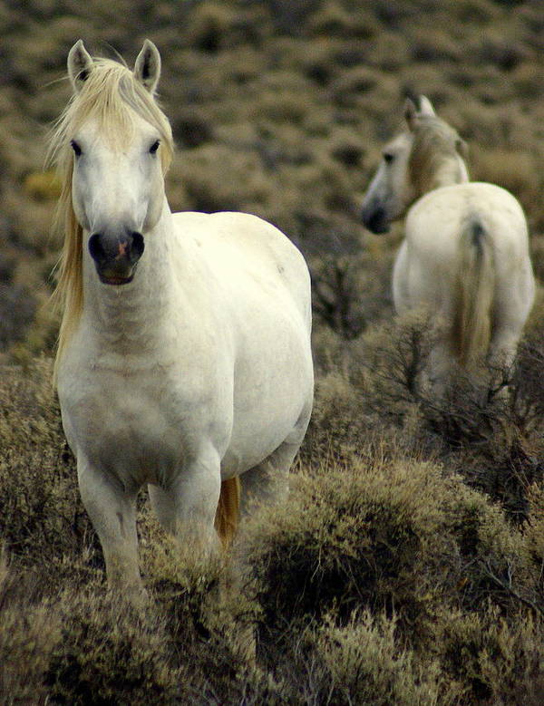 Wild Horses Art Print featuring the photograph Wild Stallion by Marty Koch