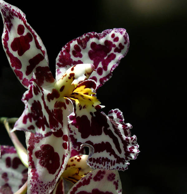 Ribet Art Print featuring the photograph C Ribet Orchids by C Ribet