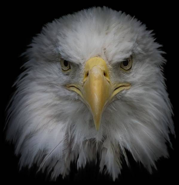 Animal Art Print featuring the photograph Bald Eagle by Ernie Echols
