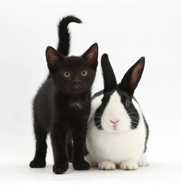 Nature Art Print featuring the photograph Black Kitten And Dutch Rabbit by Mark Taylor