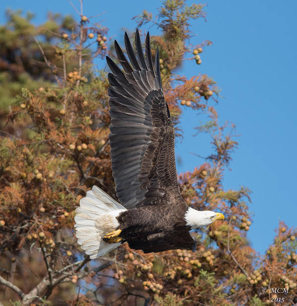 Bald Eagle Art Print featuring the photograph Eagle Banking by MCM Photography