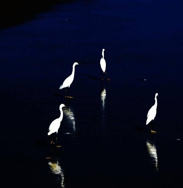 Sea Birds Print featuring the digital art Egret Reflections by David Lane
