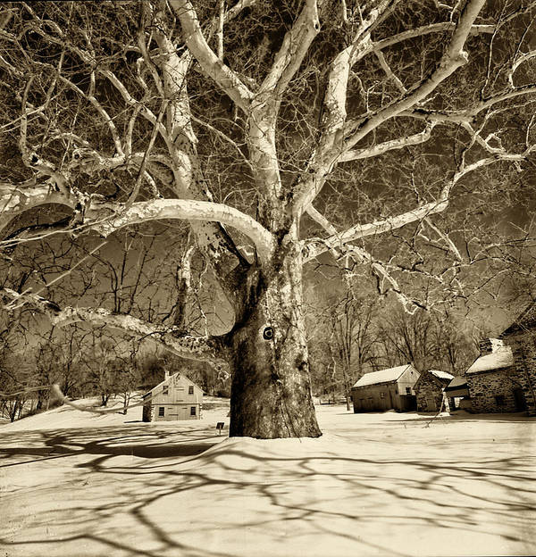 Sycamore Tree Art Print featuring the photograph Lafayette Headquarters by Jack Paolini