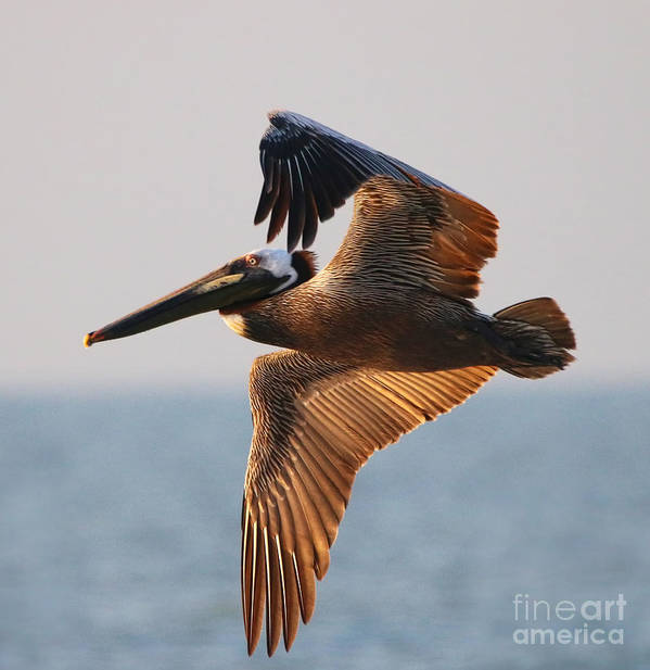 Pelican Art Print featuring the photograph Pelican 3534 by Jack Schultz
