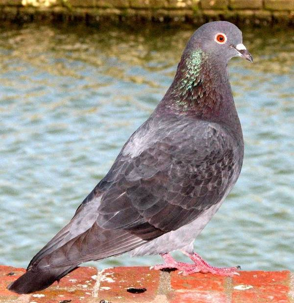 Pigeon Art Print featuring the photograph Pigeon by J M Farris Photography