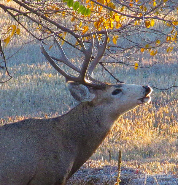 Deer Art Print featuring the photograph The Rut by Jeff Birr