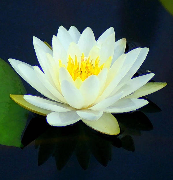 Water Lily Art Print featuring the photograph Water Lily 2 by Lisa Scott