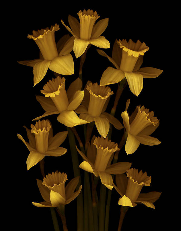 Floral Art Print featuring the photograph Dark Daffodils by Marsha Tudor