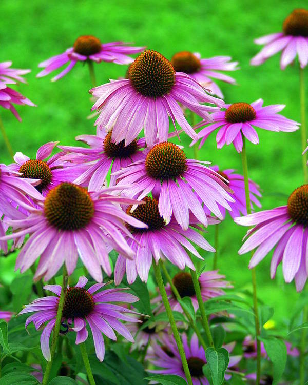 Flowers Art Print featuring the photograph Pale Purple Coneflowers by Marty Koch