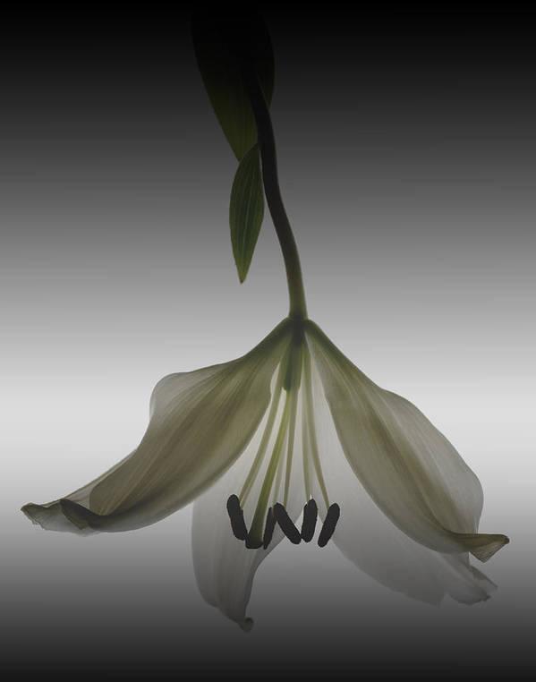 Floral Art Print featuring the photograph Veiled Lily by Marsha Tudor
