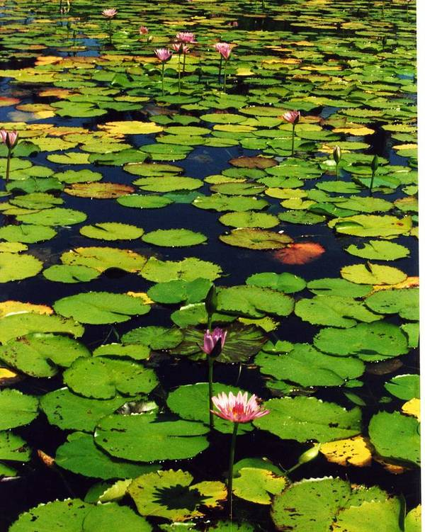 Water Lilies Water Art Print featuring the photograph Wailea Water Lilies by Jennifer Ott