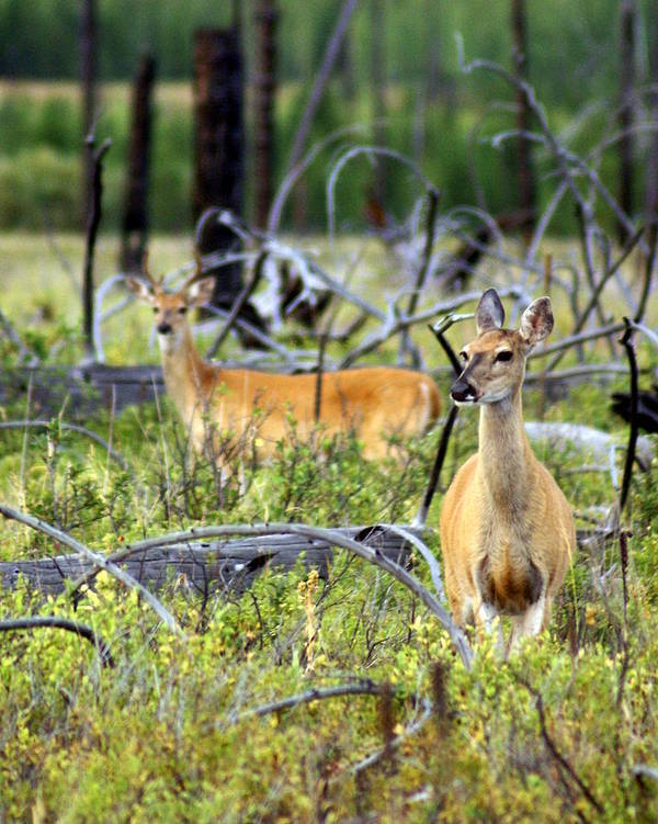 Deer Art Print featuring the photograph Whitetails by Marty Koch