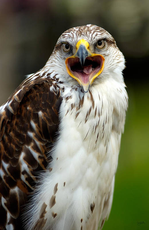 Hawk Art Print featuring the photograph Hawk by Doug Gibbons