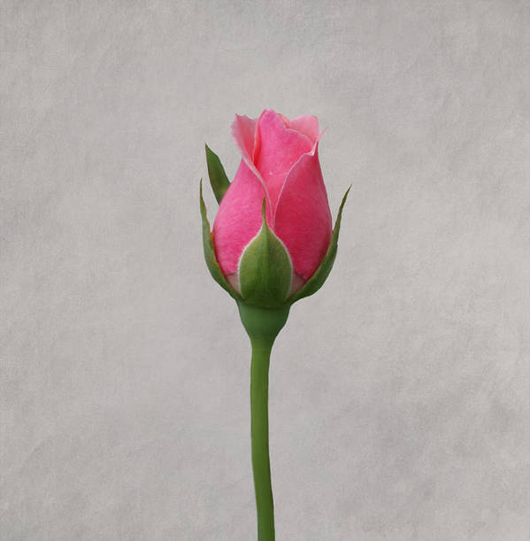 Roses Art Print featuring the photograph Pink Rosebud by Sandy Keeton