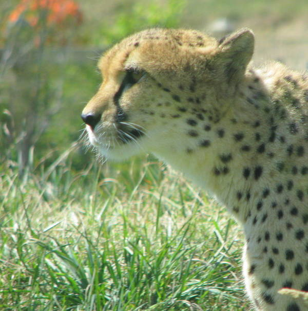 Cat Art Print featuring the photograph Cheetah by Earl Eells a
