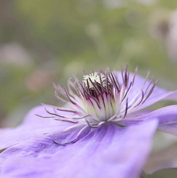 Purple Flower Art Print featuring the photograph Dreaming by Kim Hojnacki