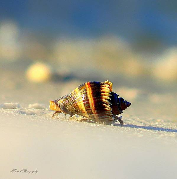 Hermit Crabs Art Print featuring the photograph Hermit Crab by Debra Forand