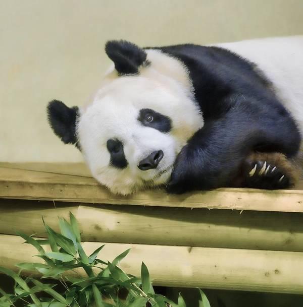Giant Panda Art Print featuring the photograph Tian Tian The Giant Panda by Tylie Duff