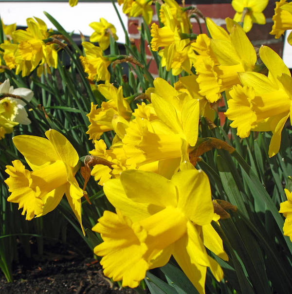 Daffodil Art Print featuring the photograph Trumpeters Of Spring by Barbara McDevitt
