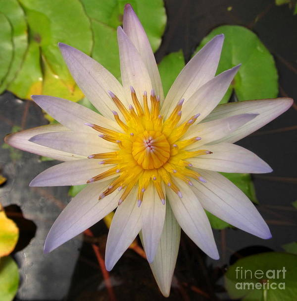 White Star Lotus White Lotus Flower Aquatic Flowers Aquatic Flora Aquatic Plants Water Garden Flora Pond Plants White Water Lily Lotus Blooms Lotus Blossoms Divine Design In Nature Rare Flowers Exotic Flora Beautiful Being Art Print featuring the photograph White Star Lotus by Joshua Bales