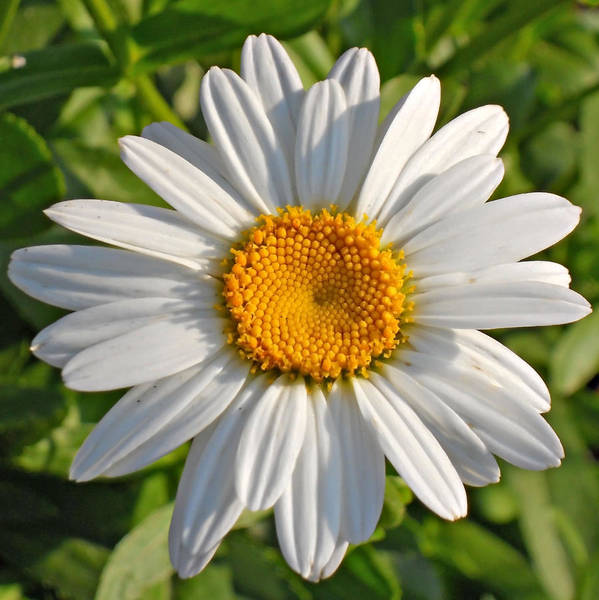 Daisy Art Print featuring the photograph Daisy by David Brown
