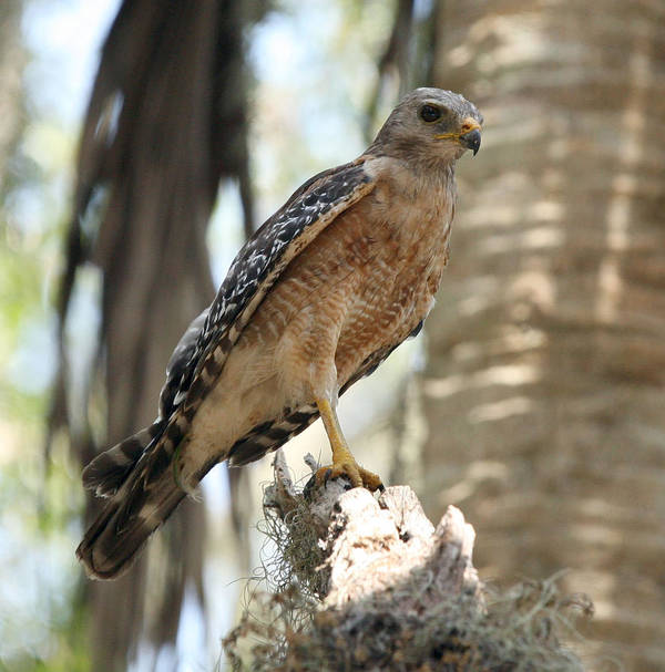 Red Shouldered Hawk Art Print featuring the photograph On The Lookout by Monica Lahr
