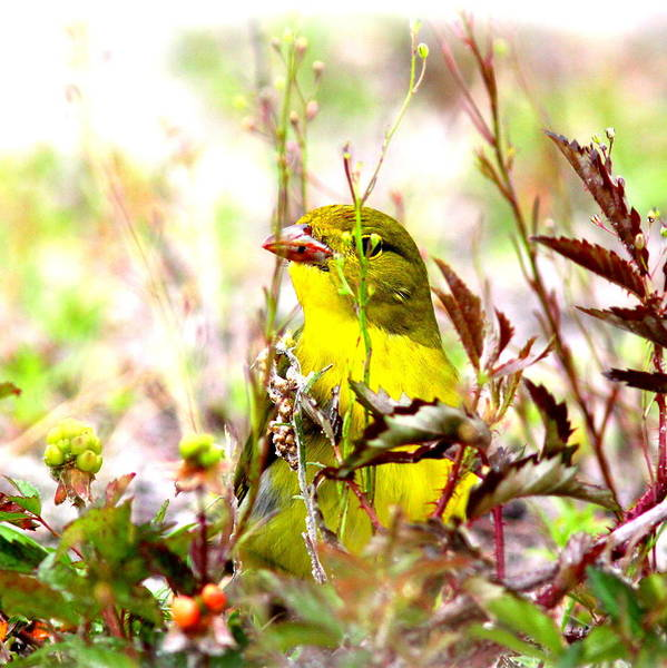 Tanager Art Print featuring the photograph 3395 - Tanager by Travis Truelove