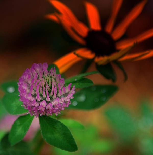 Clover Art Print featuring the photograph Clover In My Yard by Susanne Van Hulst