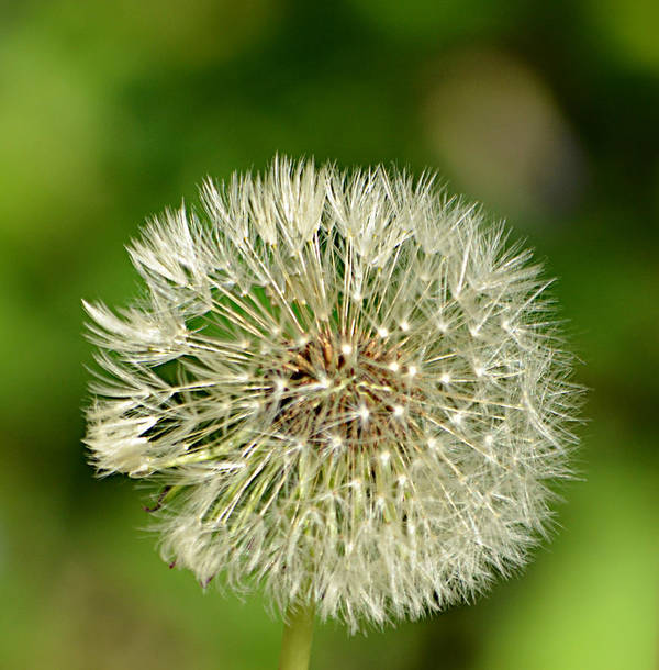 Dandelion Puff Art Print featuring the photograph Dandelion Puff by Ally White