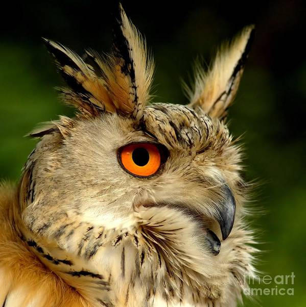 Wildlife Art Print featuring the photograph Eagle Owl by Jacky Gerritsen