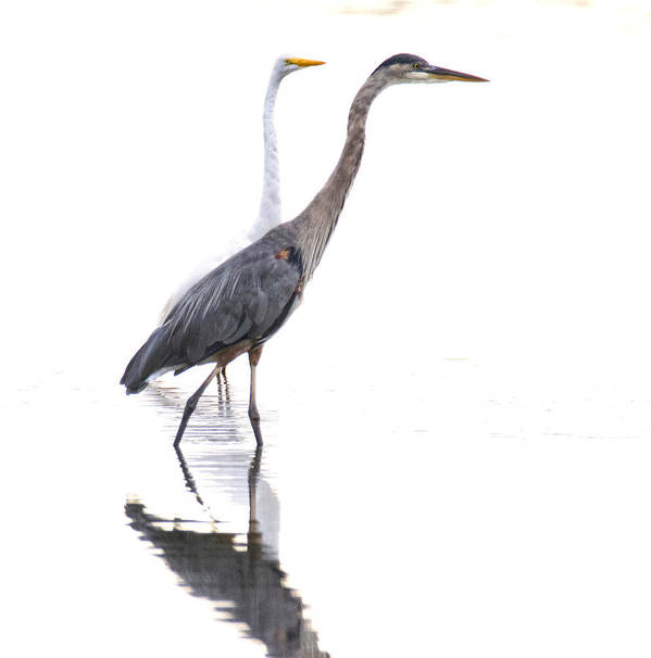 Birds Art Print featuring the photograph Egret And Heron by J Charles