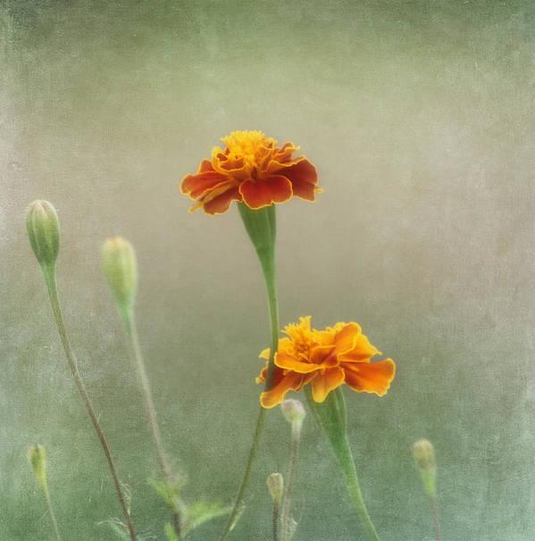 Flower Art Print featuring the photograph Marigold Fancy by Kim Hojnacki