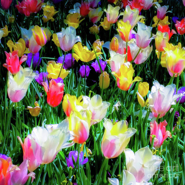 Tulips Art Print featuring the photograph Mixed Tulips In Bloom by D Davila