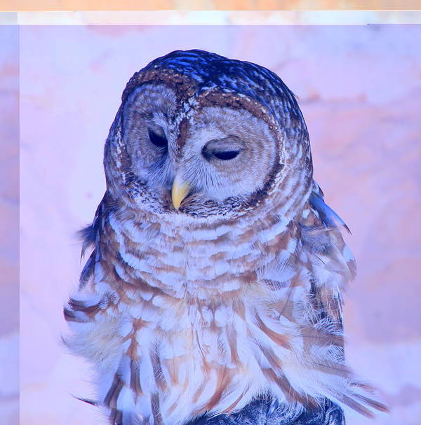 Barr Owl Art Print featuring the photograph Wind Blown Owl by Tanya Porter