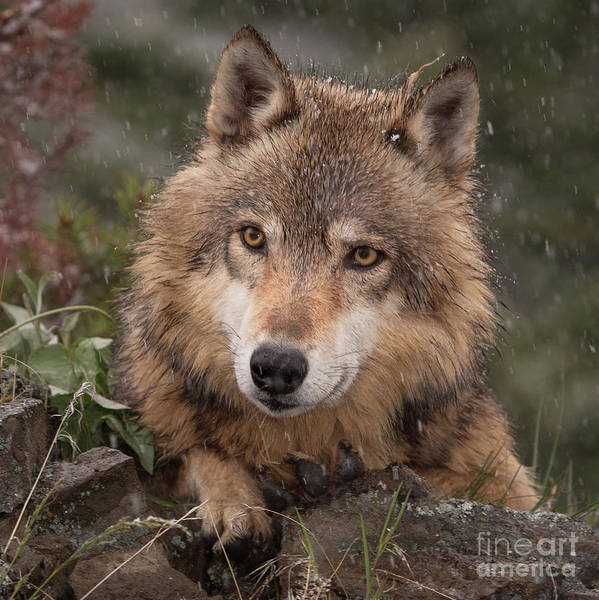 Wolf Art Print featuring the photograph Wolf Face by Jerry Fornarotto