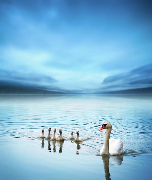 Scenics Art Print featuring the photograph Swan Family On The Lake by Borchee