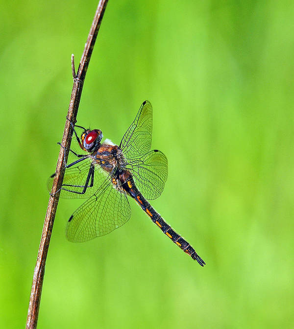 Dragonfly Art Print featuring the photograph Baskettail by Bill Morgenstern