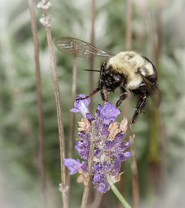 Bee Art Print featuring the photograph Bee Lands On Lavender by Len Romanick