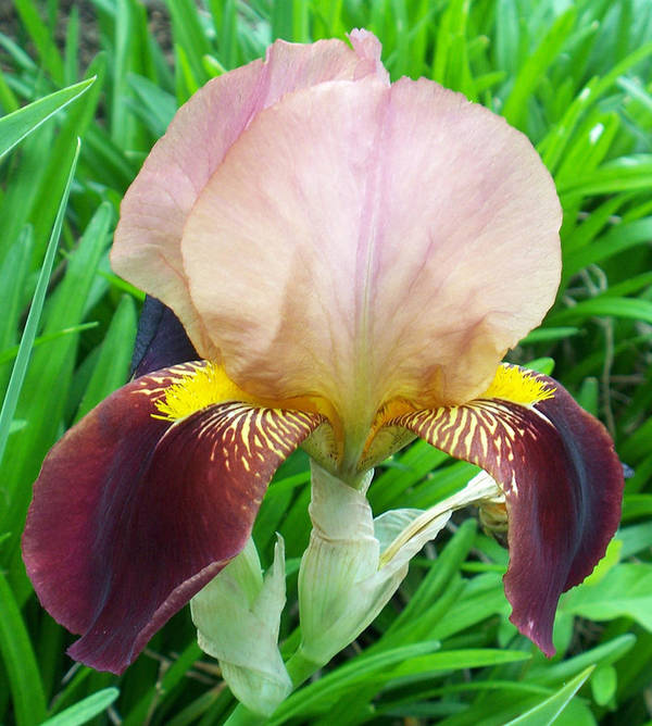 Flower Art Print featuring the photograph Velvet Iris by Ellen B Pate