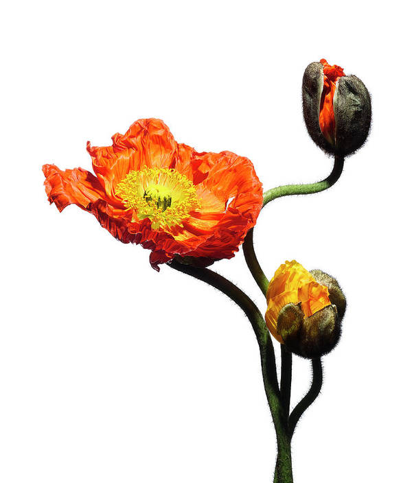 White Background Art Print featuring the photograph Blossoming Poppy Flowers On White by Chris Stein