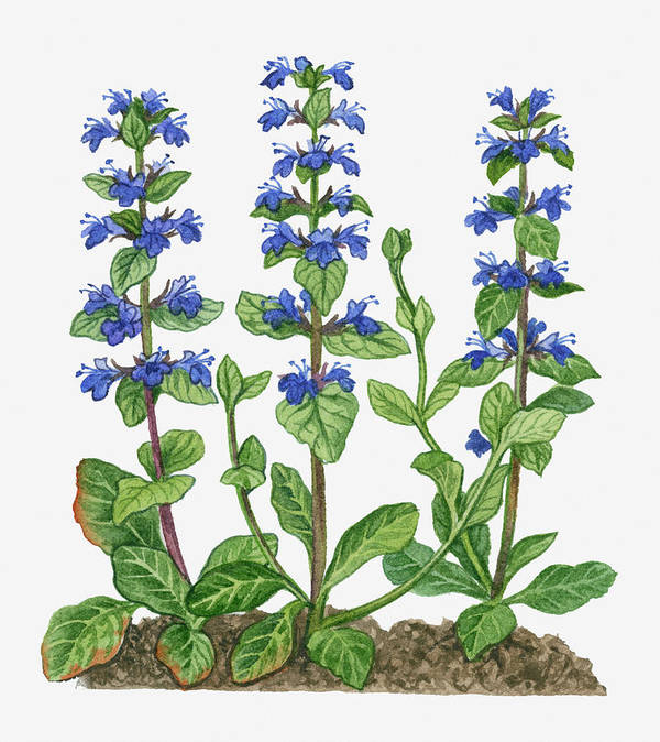 Watercolor Painting Art Print featuring the digital art Illustration Of Ajuga Reptans Blue by Michelle Ross