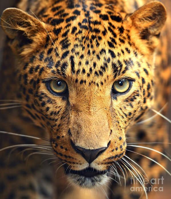Big Art Print featuring the photograph Leopard Portrait by Kyslynskahal