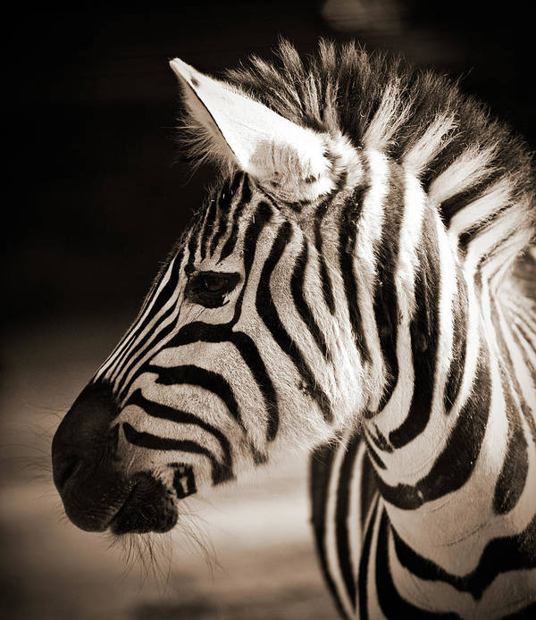 Black Color Art Print featuring the photograph Portrait Of A Young Zebra by Cruphoto