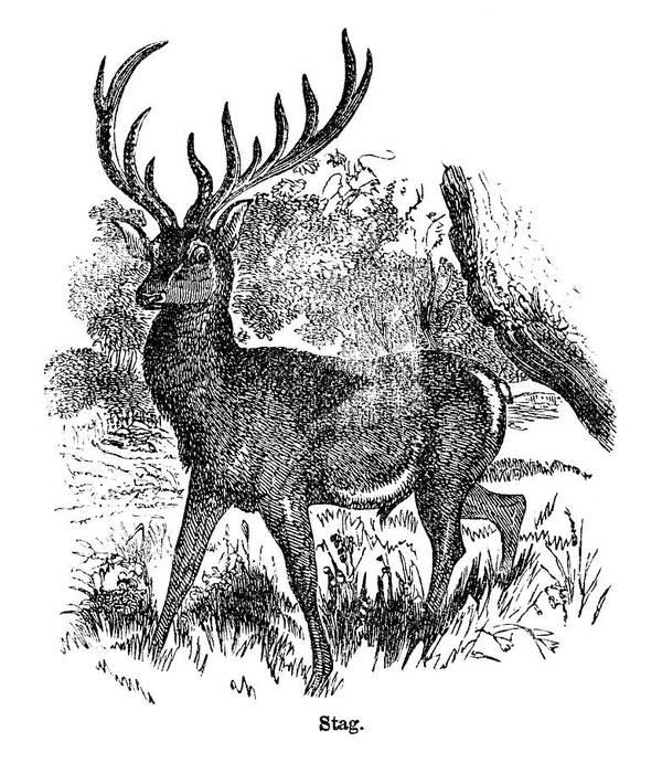 Engraving Art Print featuring the digital art Red Deer Stag Engraving by Nnehring
