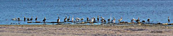 Birds Fauna At Salton Lake Art Print featuring the photograph Birds Panorama by Anatole Kortscheff