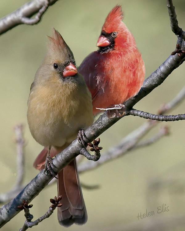 Nature Art Print featuring the photograph Cardinal Couple by Helen Ellis